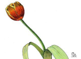 Freddie tulip for blog